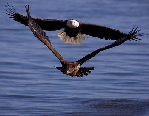 aguia-e-falcao1